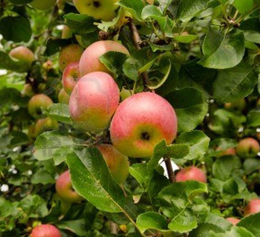 Apples on tree representing Abundance and Manifesting